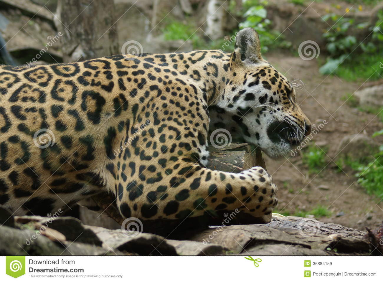 Download Jaguar - Onca Della Panthera Immagine Stock - Immagine di animale, fauna: 36884159
