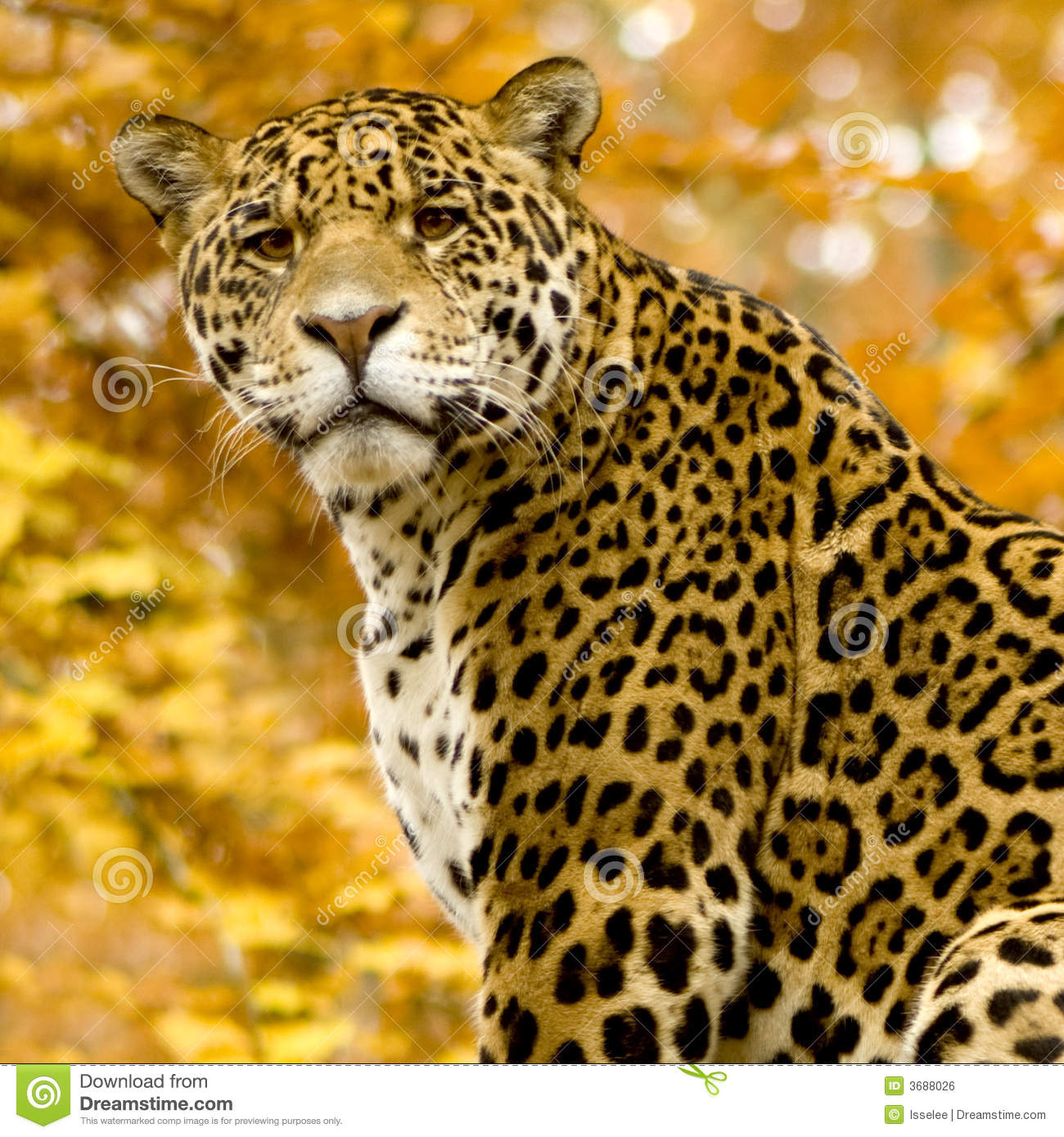 Panthera Onca Stock Images: Panthera Onca Stock Photo. Image Of Wildlife
