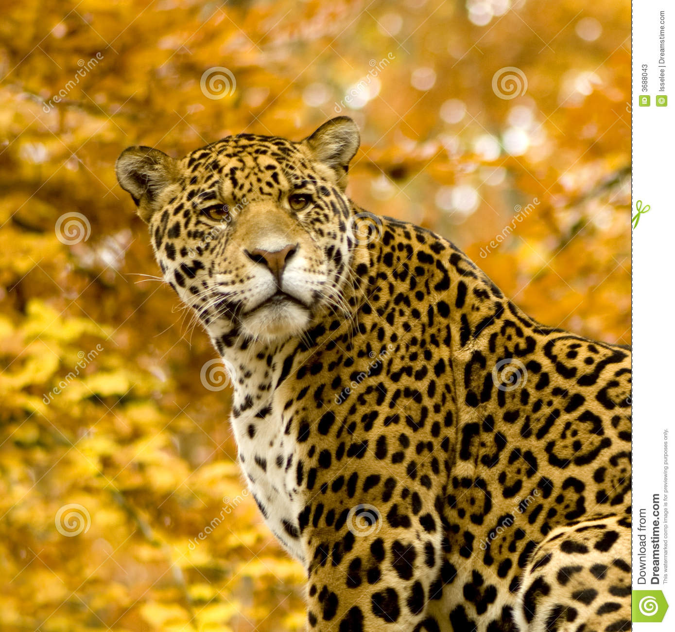Male Jaguar: Panthera Onca Stock Image. Image Of Outside, Male