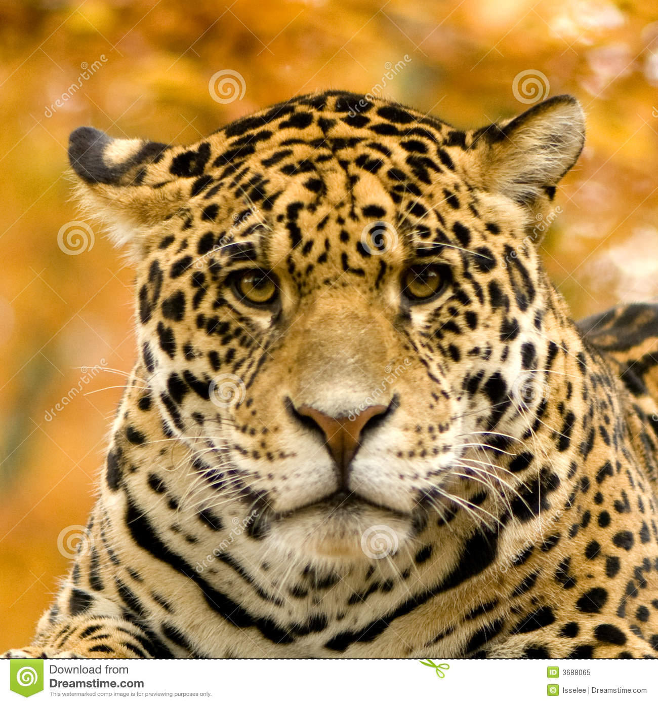Jaguar - Panthera Onca Royalty Free Stock Photo - Image: 3688065