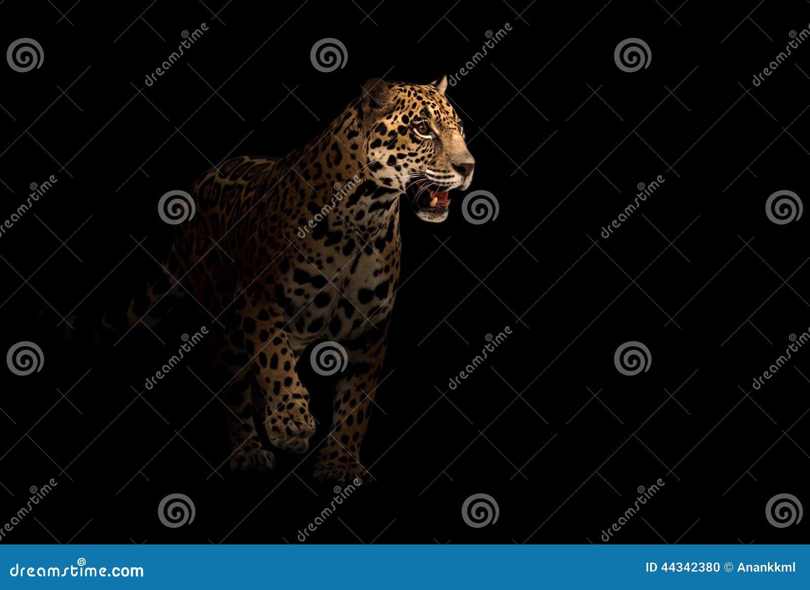 Jaguar Panthera Onca In The Dark