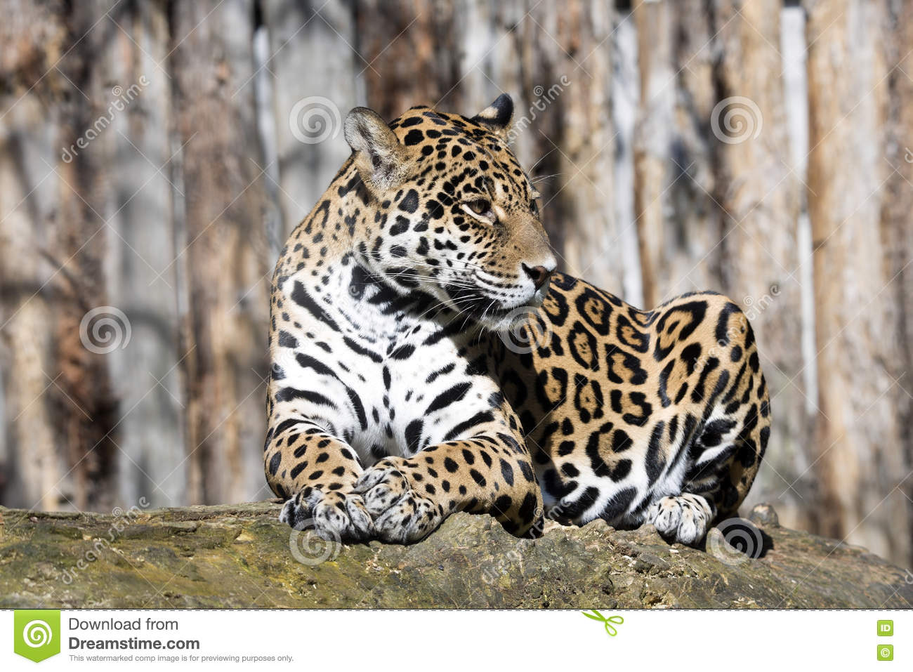 Jaguar, Panthera Onca Is A Huge South American Beast