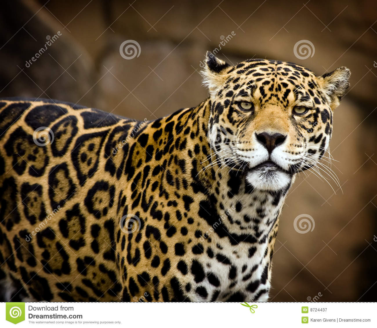 Jaguar Growling: Jaguar Portrait Stock Image. Image Of Hunter, Animal