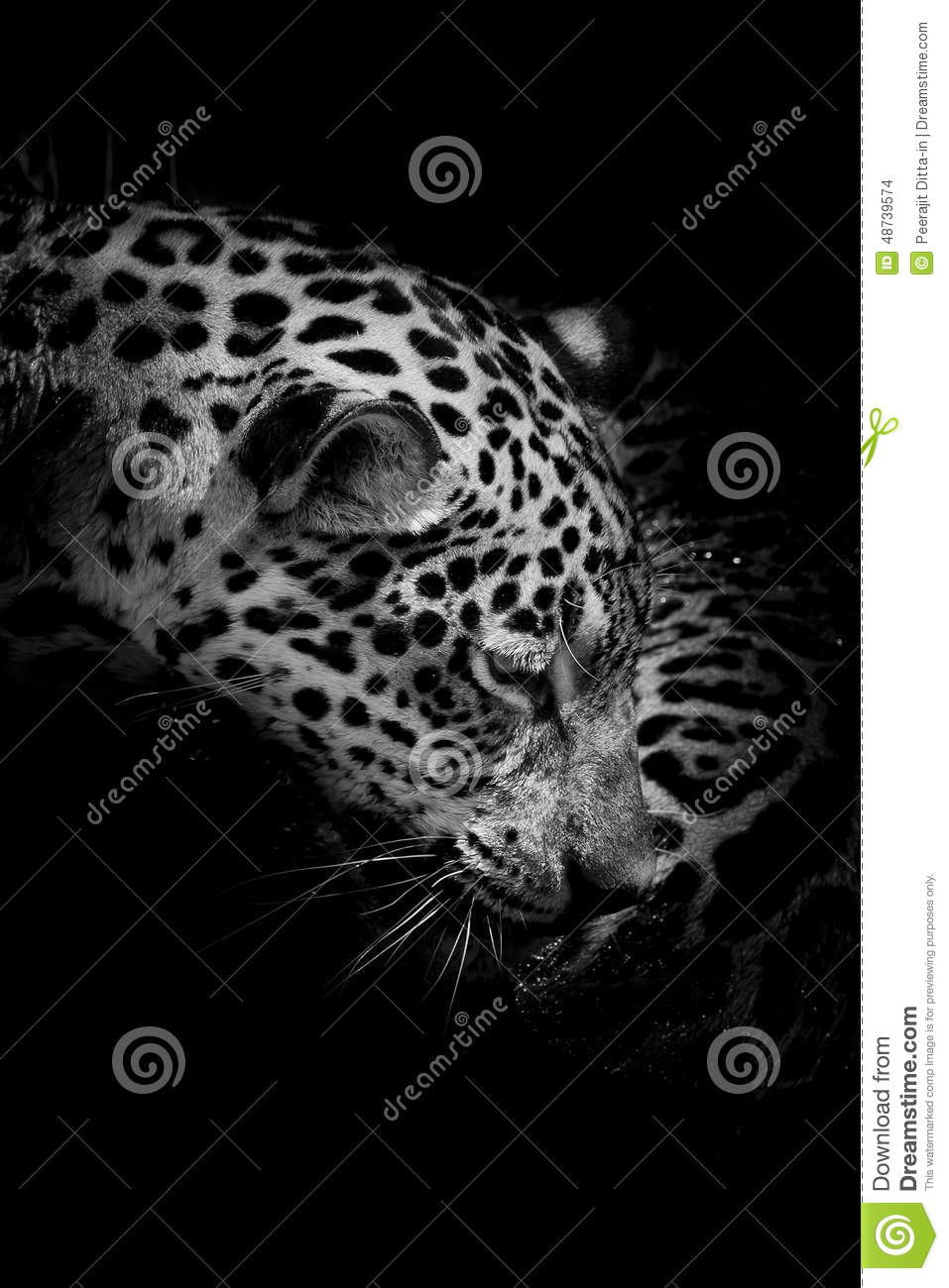 Jaguar Portrait Closeup Animal Wildlife Black Color Background