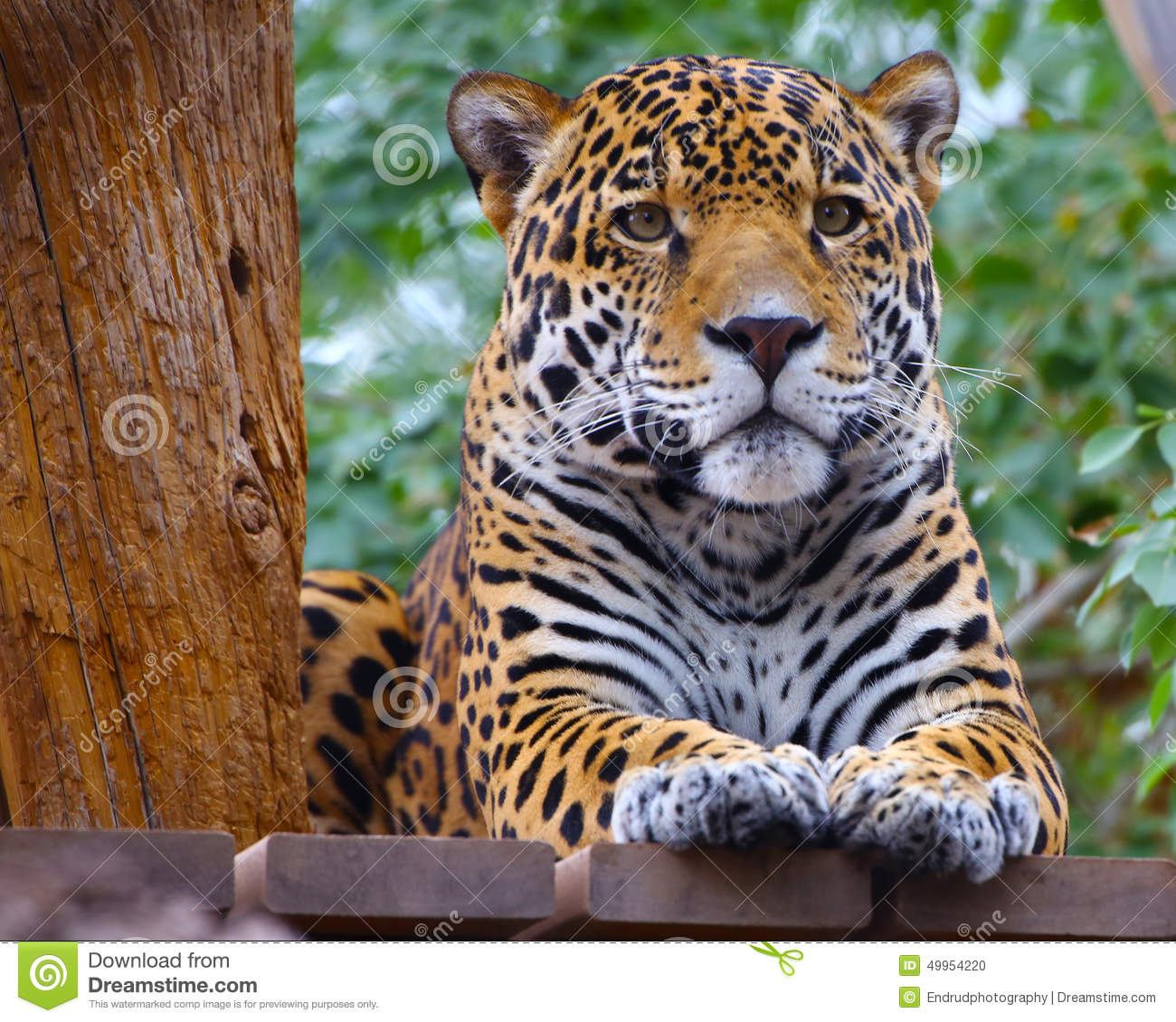 Roaring Jaguar: Jaguar Stock Photo. Image Of Staring, Tame, Deadly, Face