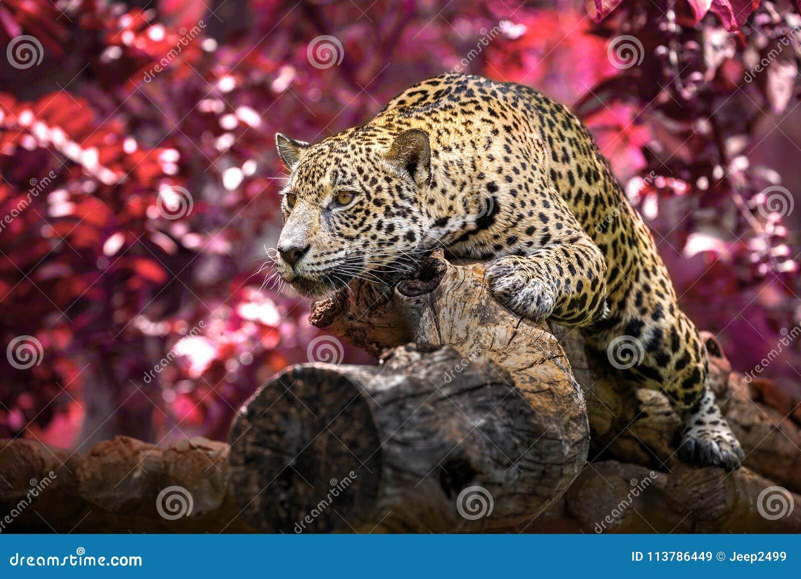 Jaguar que toma el sol mentira en el bosque en la atmósfera natural