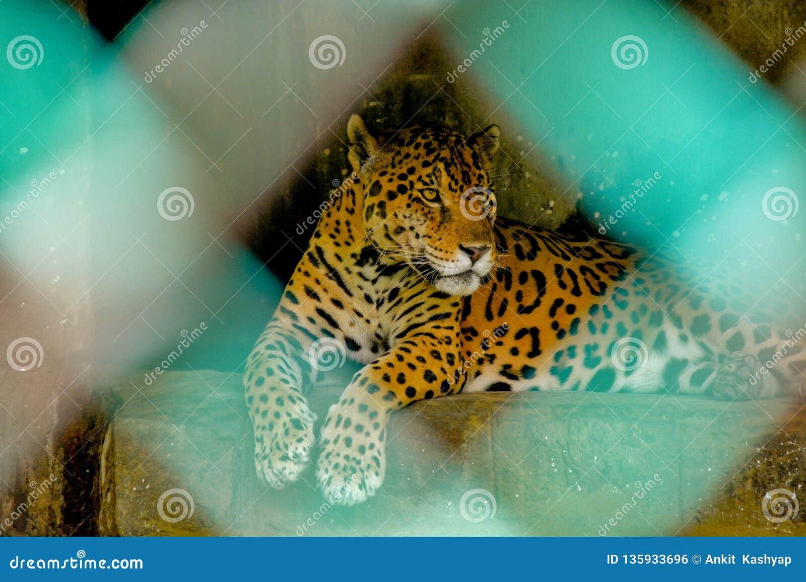 Jaguar se reposant dans la cage dans un zoo en Inde