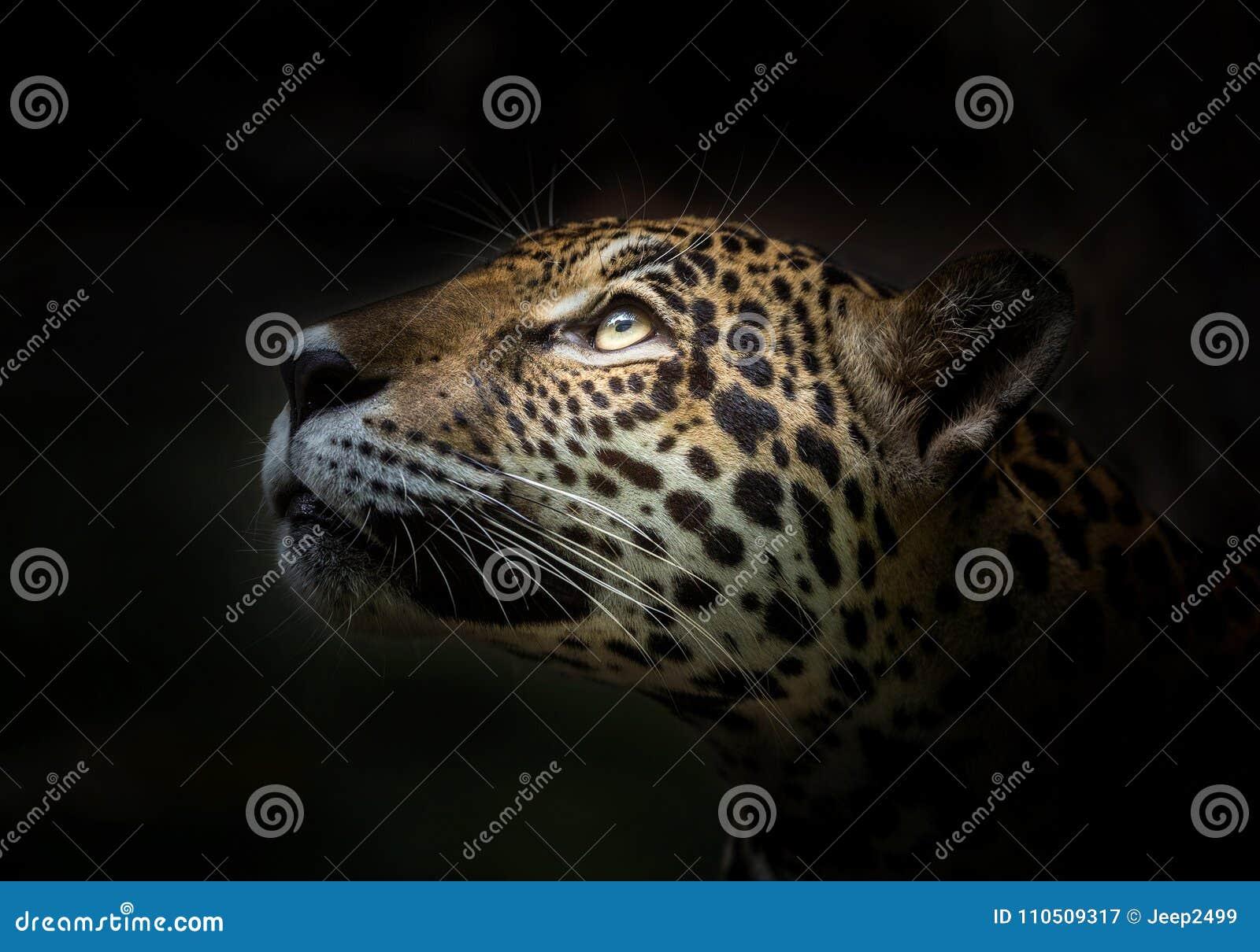 Jaguar stawia czoło