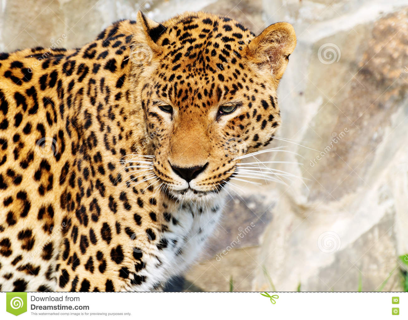 Jaguar Is Very Beautiful Strong And Clever Animal Stock Photo Image Of Head Gracious 71473574