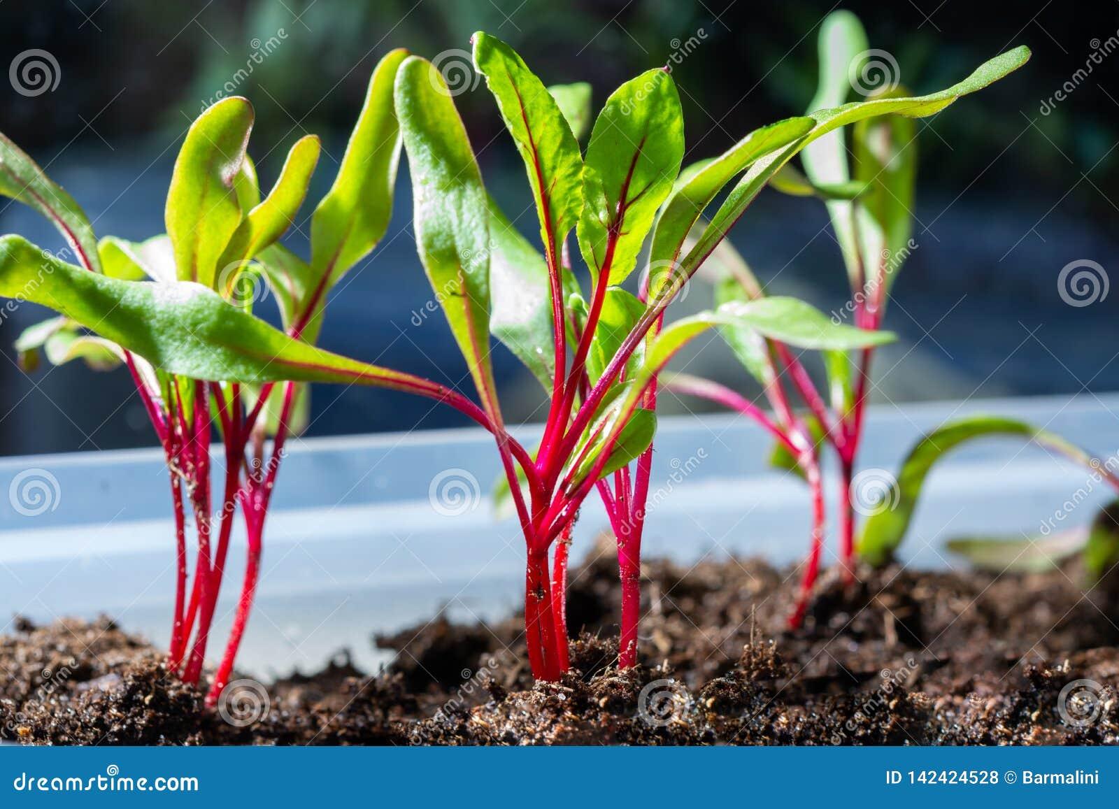 Jahreszeit der Gartensämlinge im Frühjahr, junge Sprösslinge von rote Rote-Bete-Wurzeln Gemüseanlage