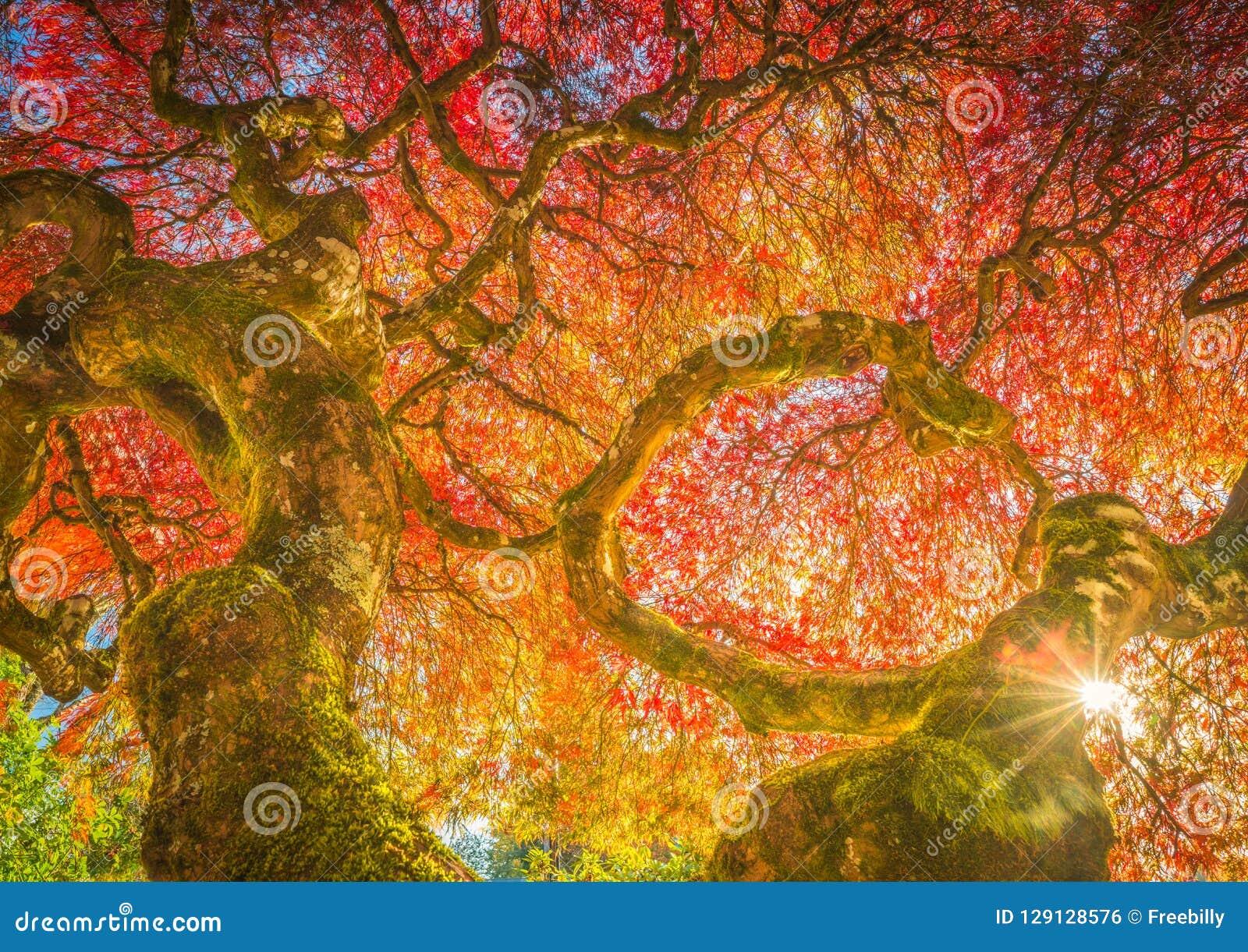 Jahrhundert-japanischer Ahorn in den Herbstfarben
