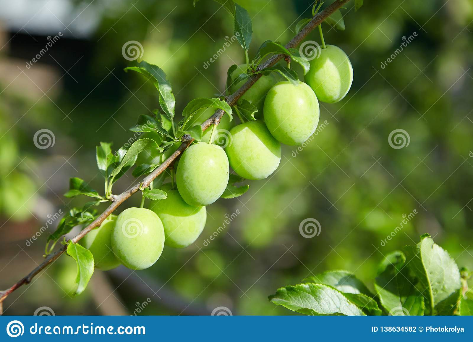 Jajnik śliwki owoc na gałąź