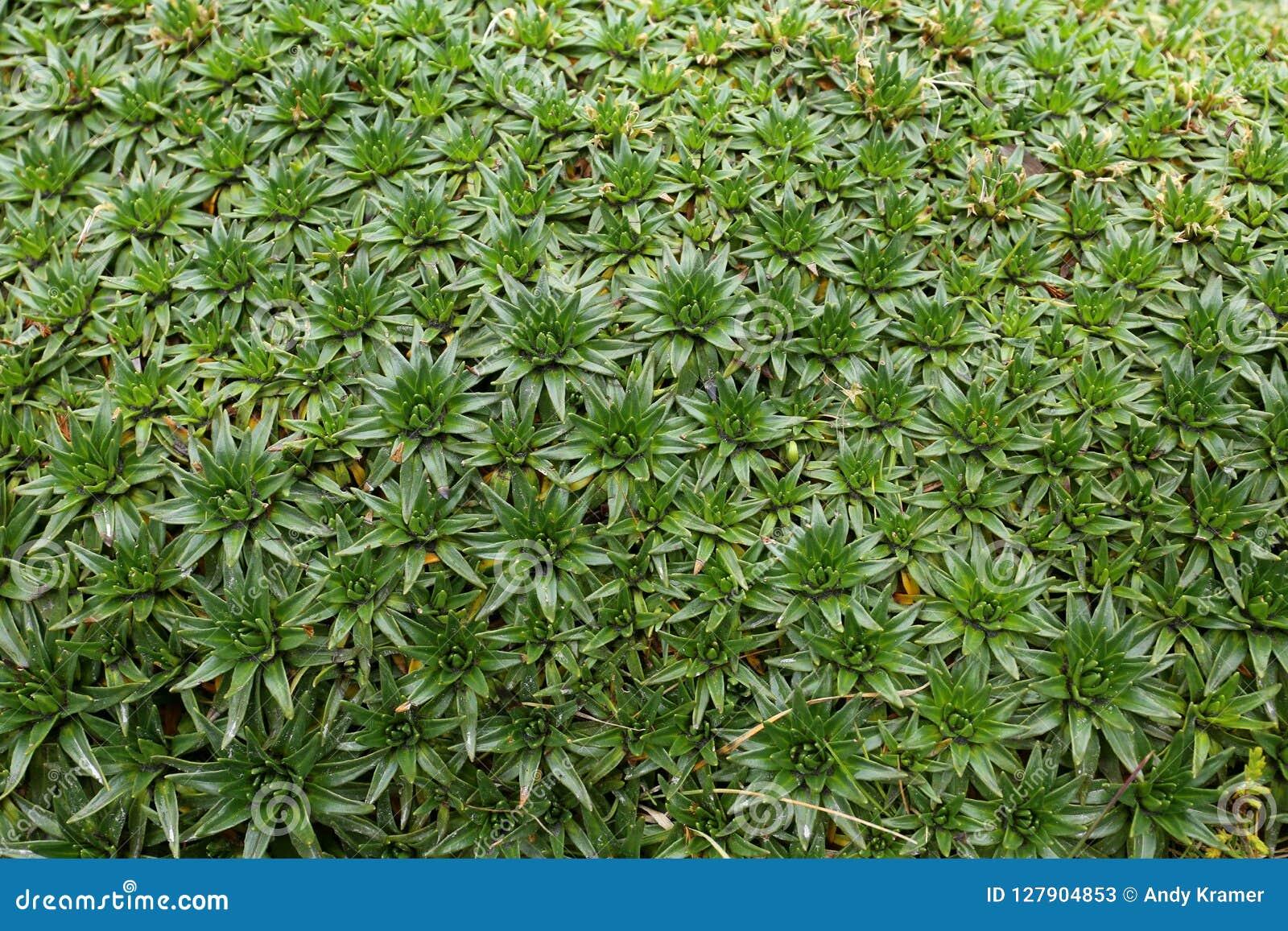 Jakby zielony mech w dżungli Kolumbia