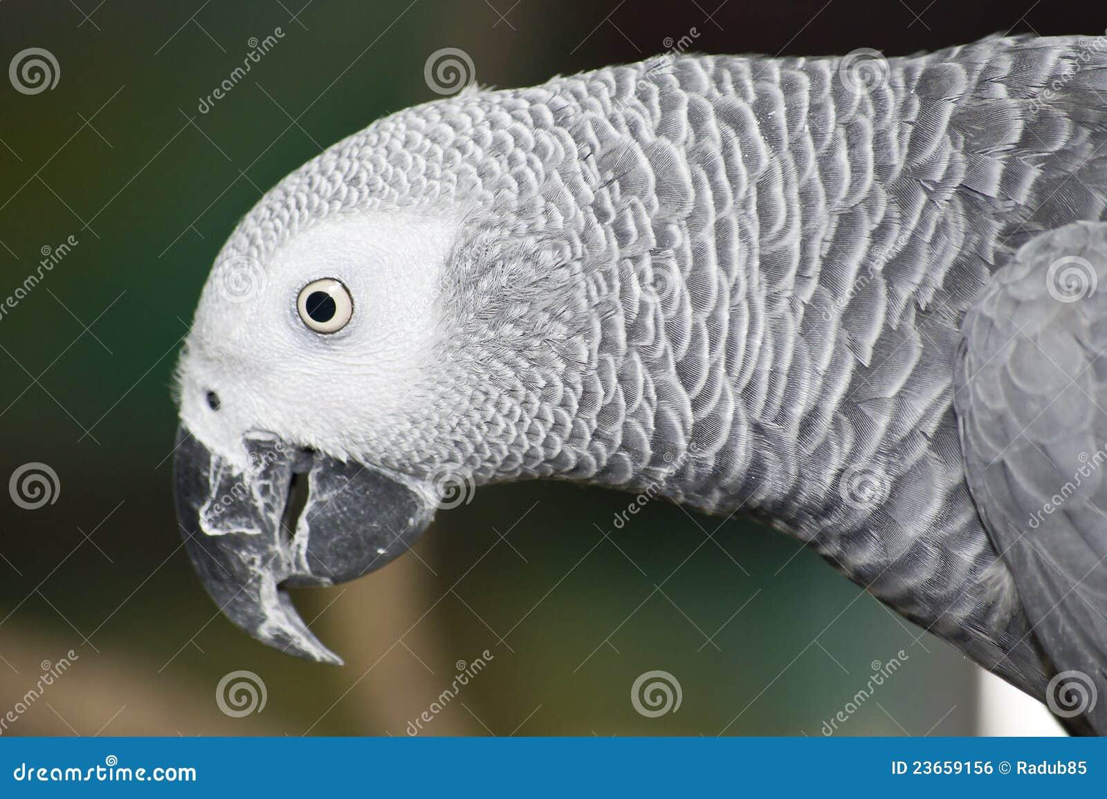 Jako Papagei