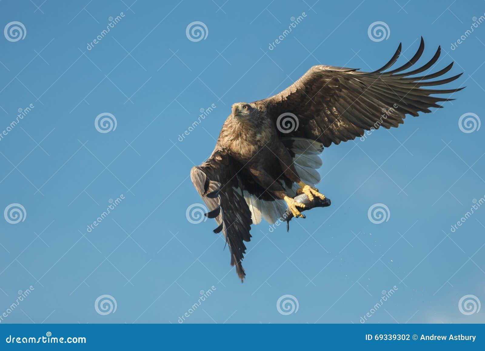 Jakt Eagle med rovet