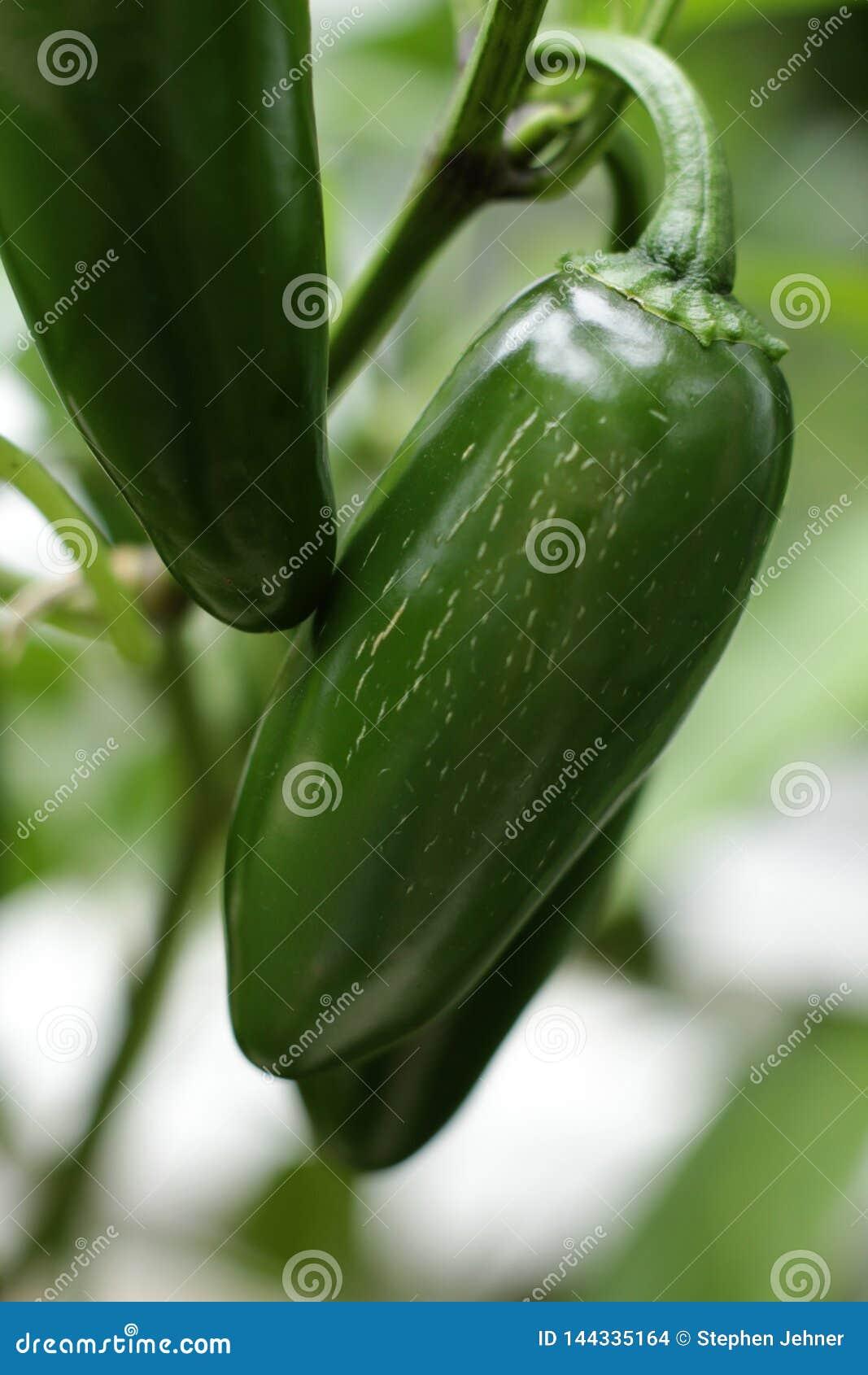 Jalopeno fresco del jardín que aguarda una comida sabrosa