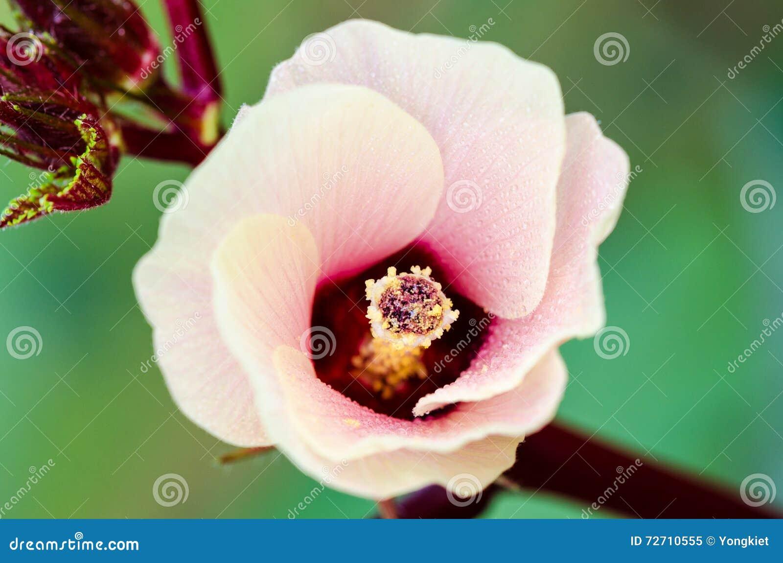 Jamaica sorrel or hibiscus sabdariffa flower stock image image of jamaica sorrel or hibiscus sabdariffa flower macro green izmirmasajfo Choice Image