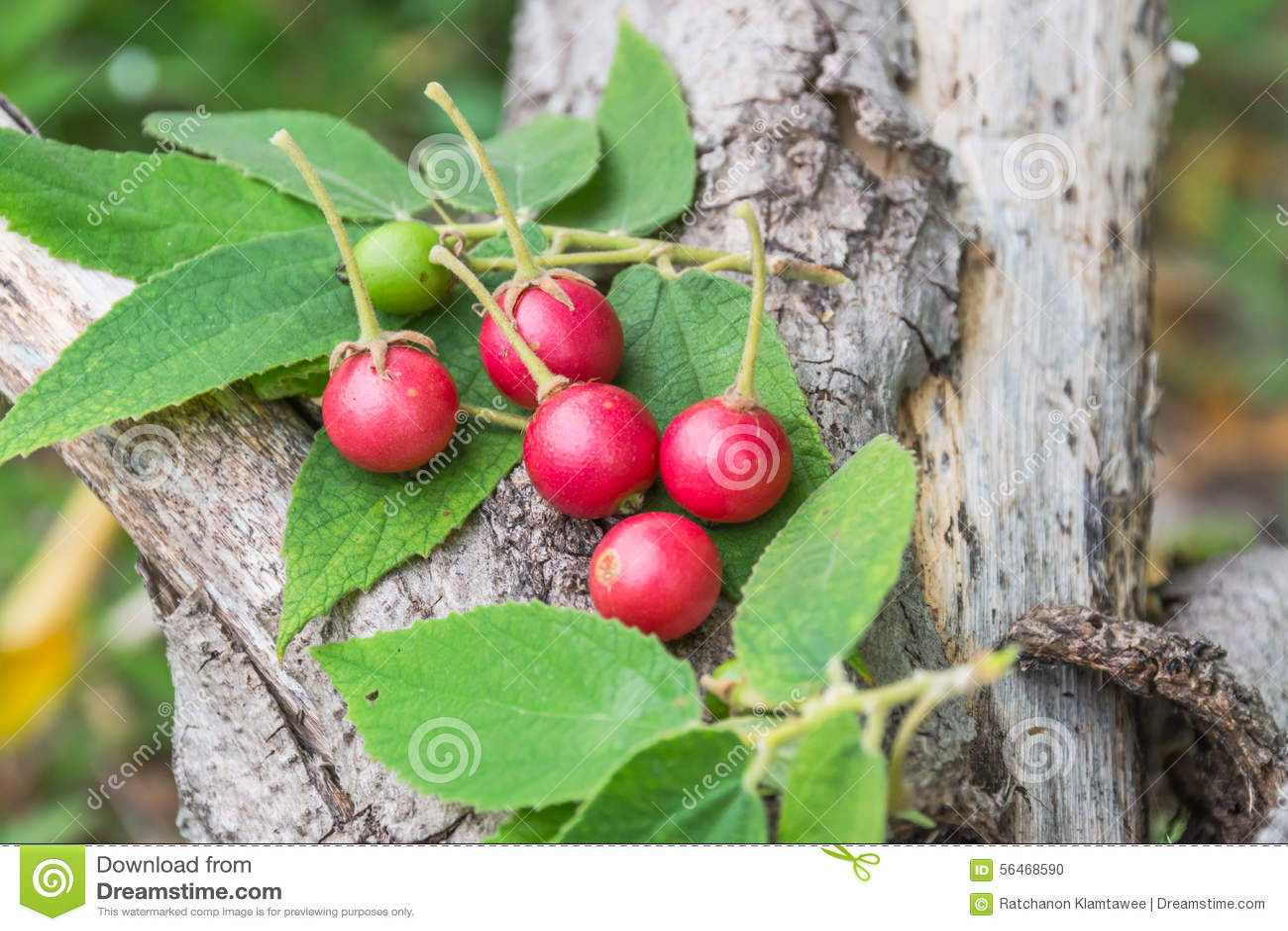 Capulin/Jamaican Cherry/Muntingia calabura | Zoom's Edible Plants