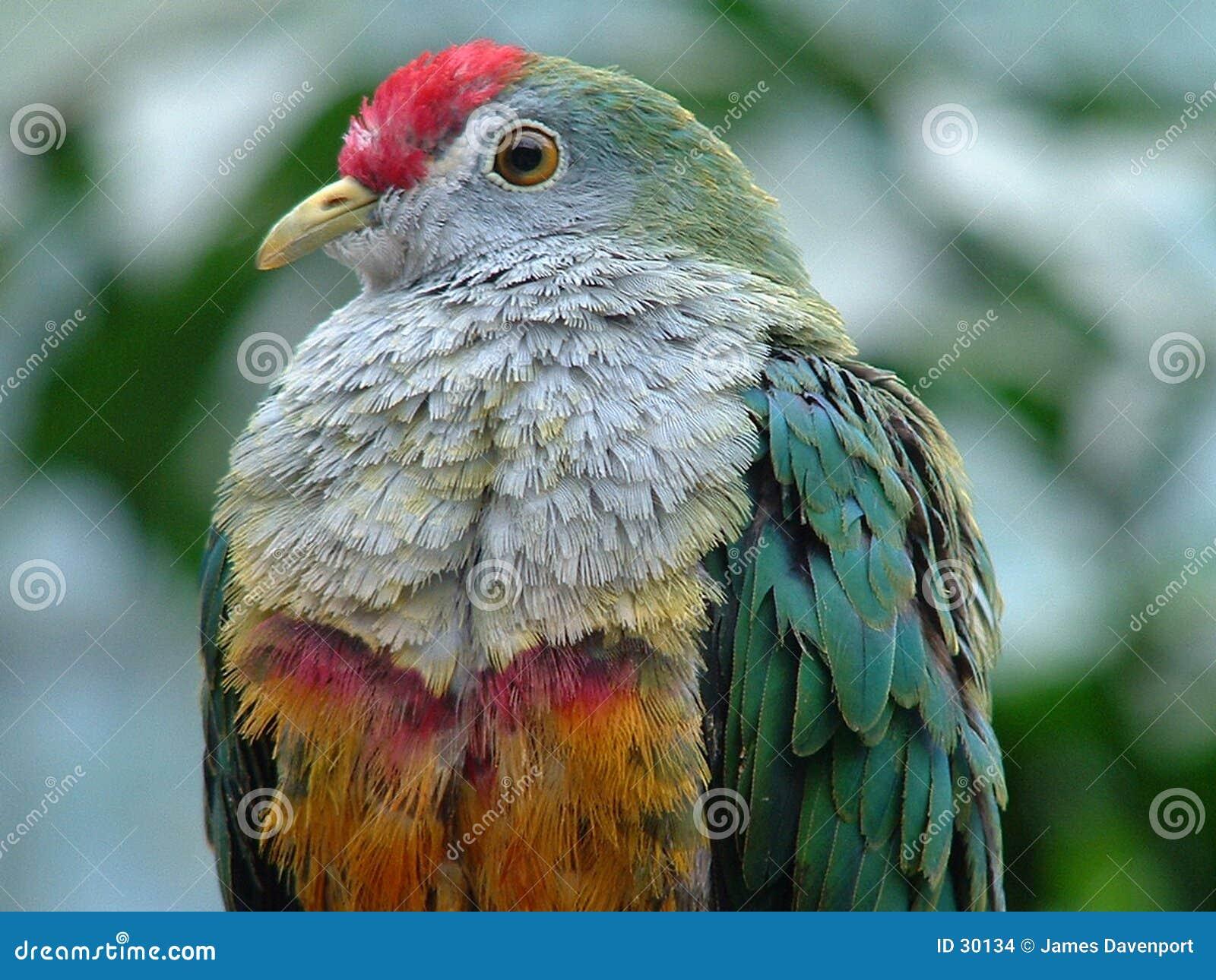 Jambu Frucht-Taube