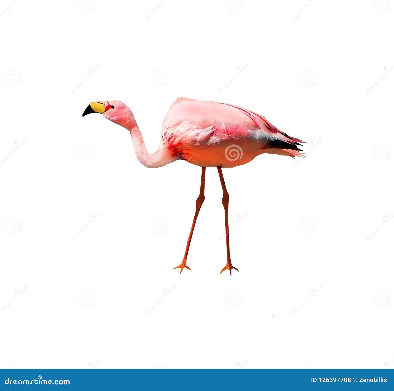 James`s flamingo bird isolated on white background. Also known as the puna flamingo