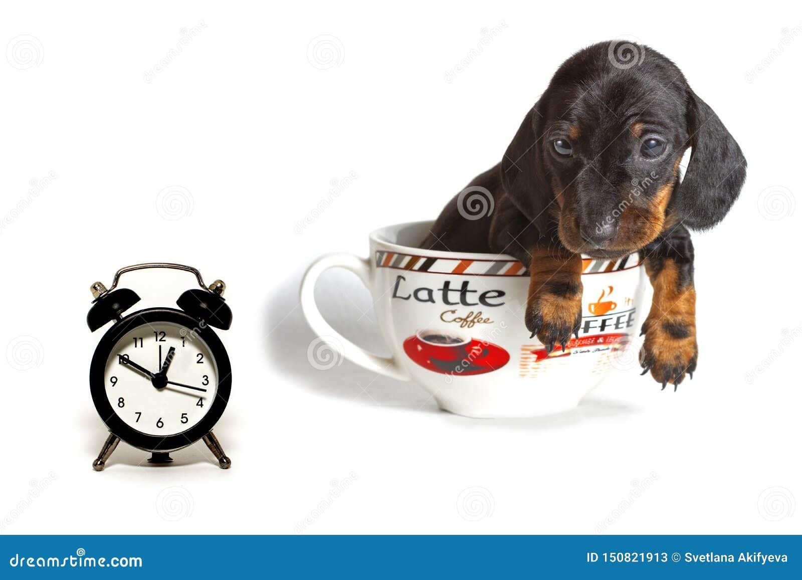 Jamnika szczeniak w filiżanka kawy wielkich spojrzeniach przy zegarem odizolowywającym na białym tle