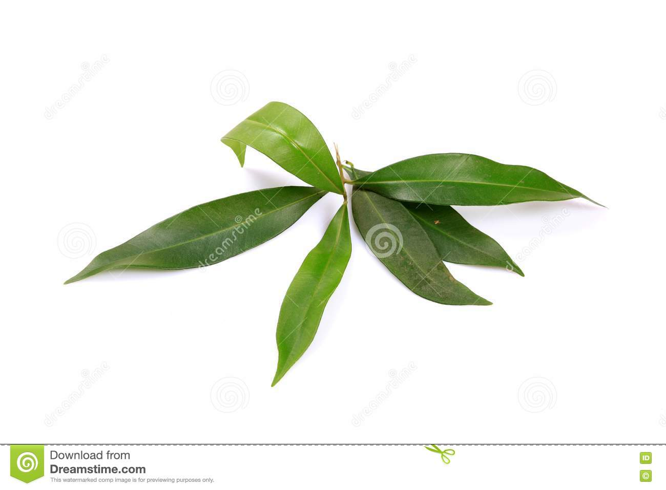 Jamun Leaves Royalty Free Stock Images - Image: 17190419