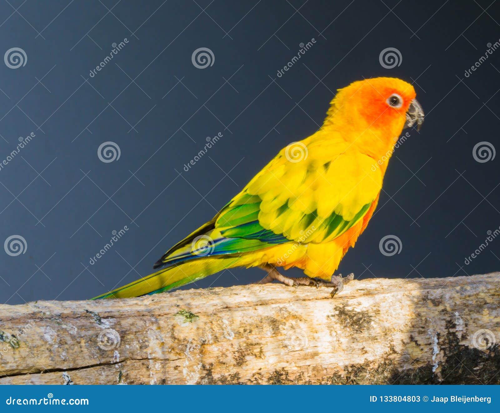 Jandaya parakeet chodzi nad gałąź w zbliżeniu, kolorowy tropikalny ptak od Brazil