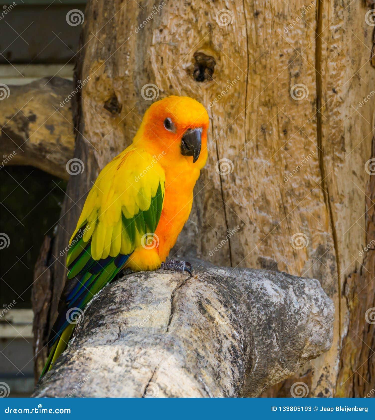 Jandaya parakiter som sitter på en trädfilial i populär och färgrik husdjuret det closeup, från Brasilien