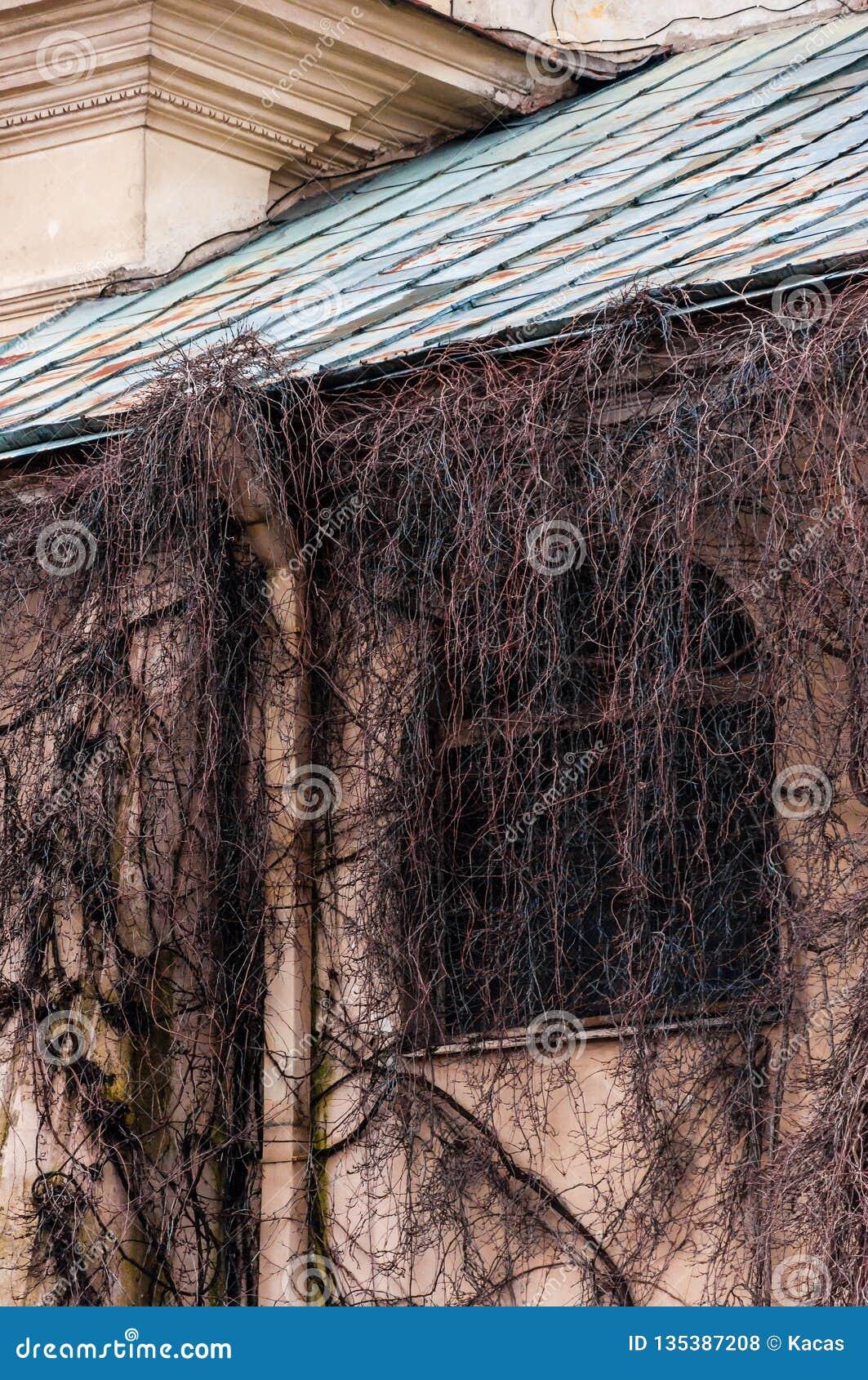 Janela inteiramente coberto de vegetação do arco da fachada com videira selvagem, planta da uva Ramos desencapados assustadores q