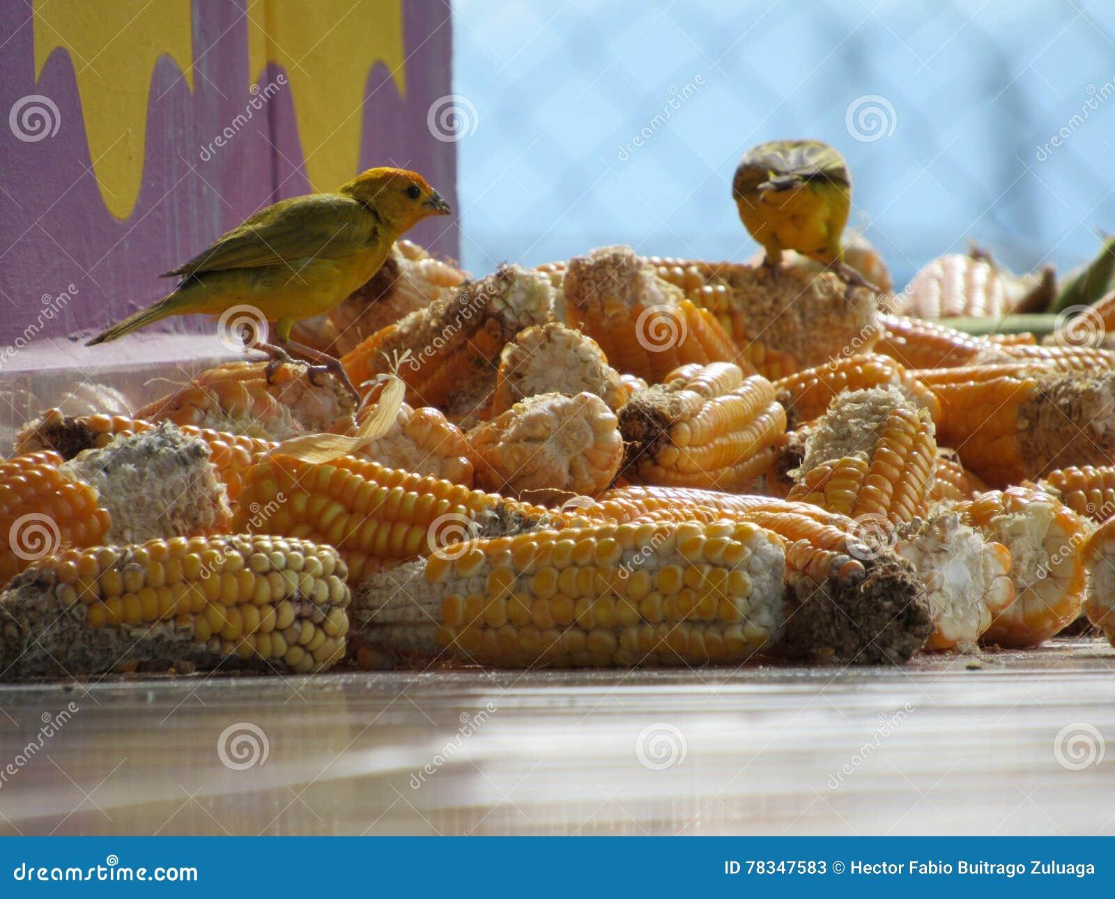 Jantar bonito em um milho delicioso