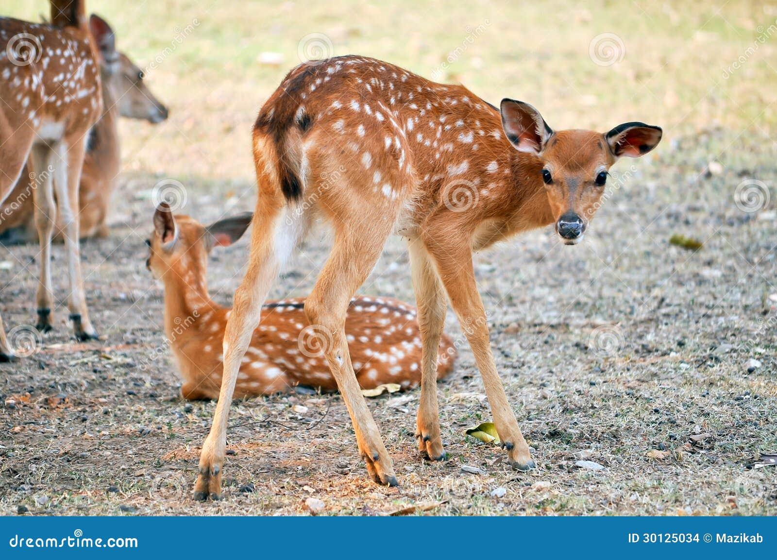 Filhote Dos Cervos De Sika Foto De Stock Imagem De Coma 30125034