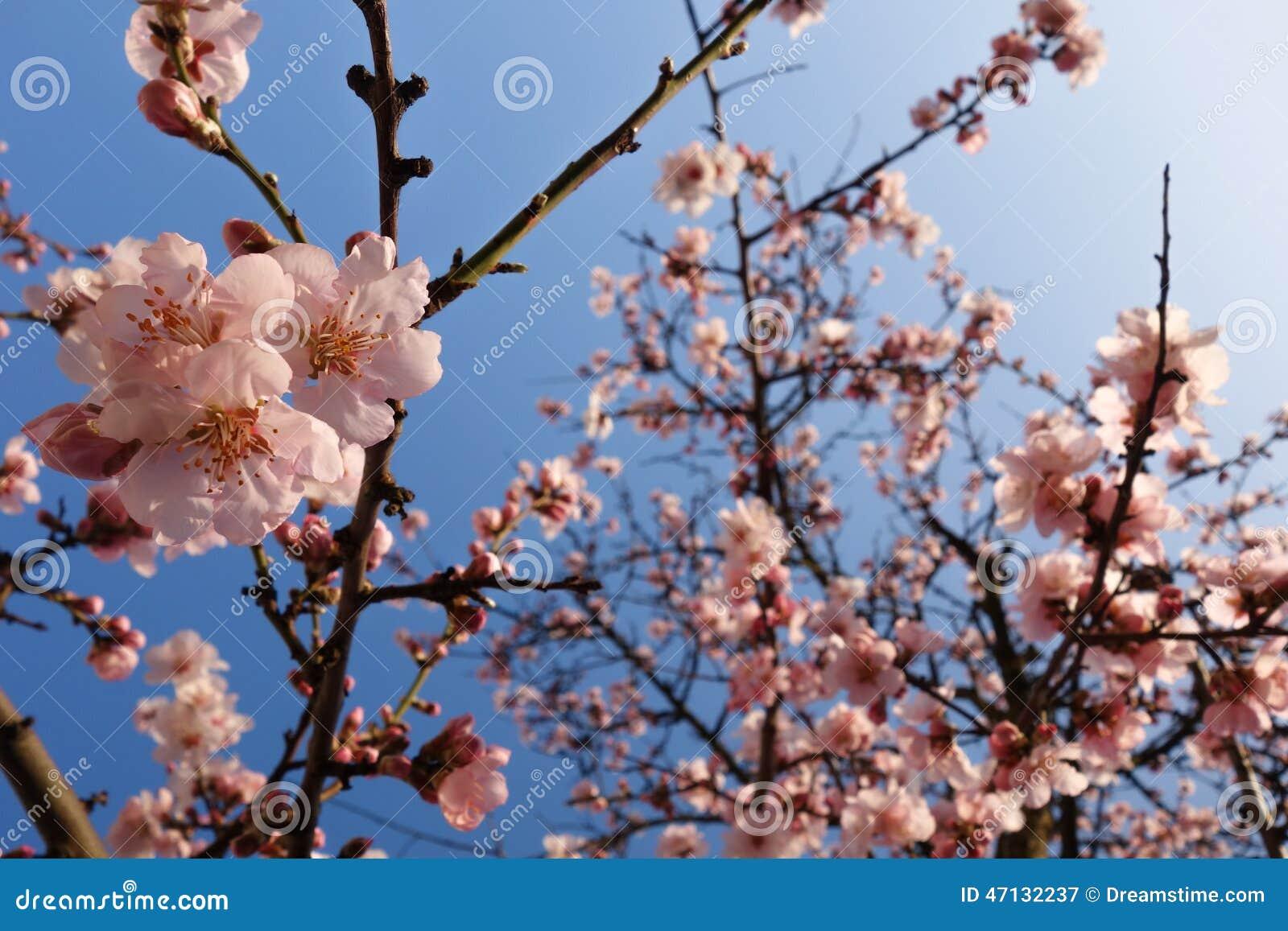 Japan Cherry Blossom During Springtime