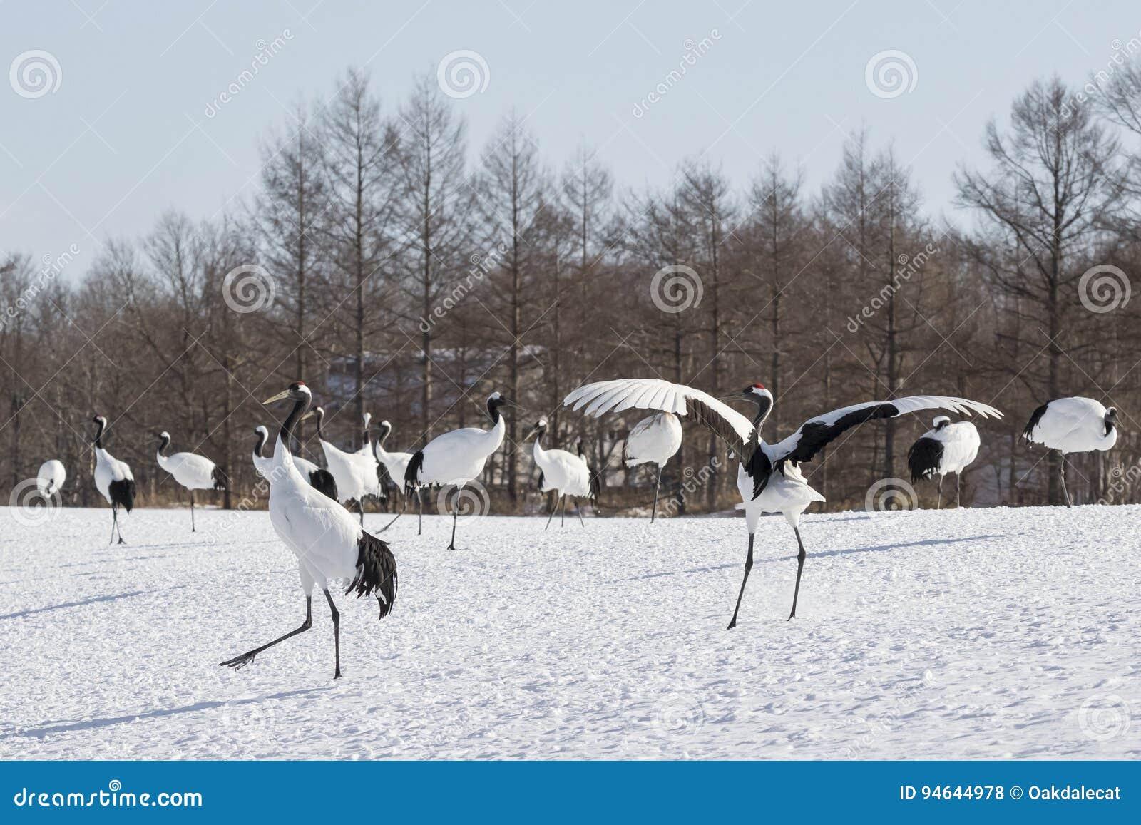 Japan Crane Dance Display