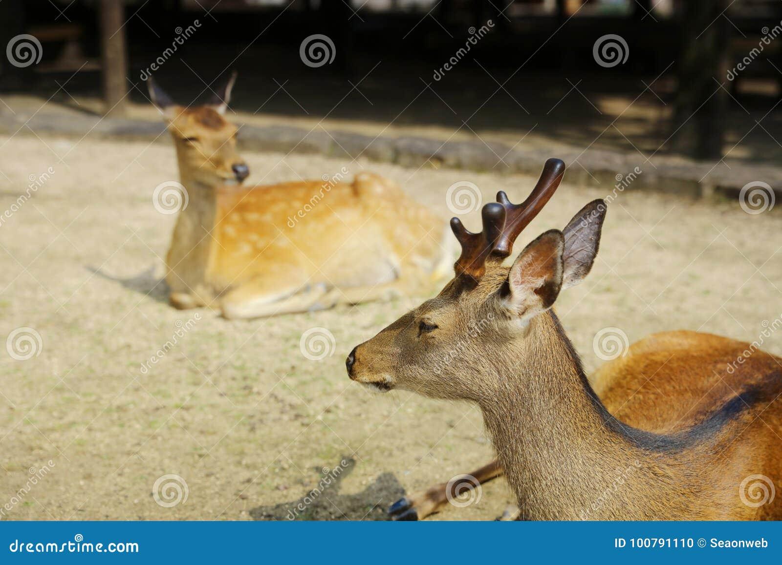 japan deer on Miyajima island