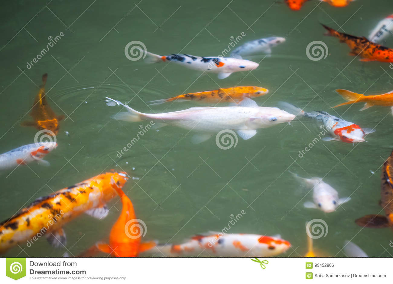 Japan Fish Call Carp Or Koi Fish Colorful, Many Fishes Many Colo ...