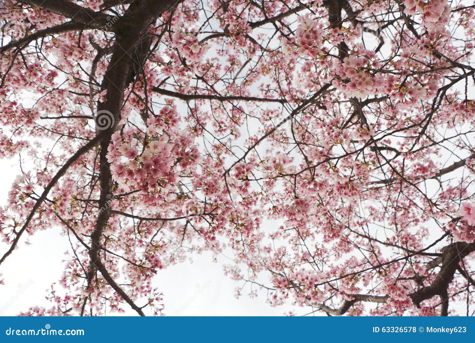 Japan Sakura Stock Photo Image Of Symbolize Culture 63326578
