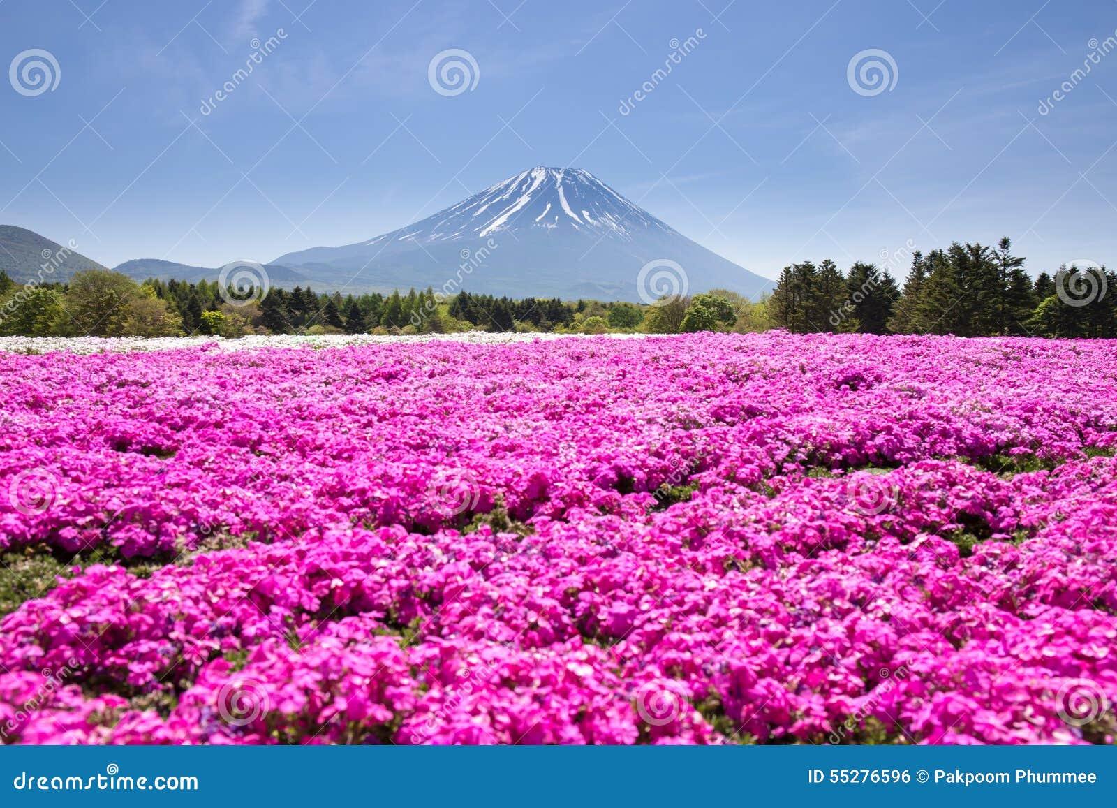 Japan Shibazakura festival med fältet av rosa mossa av Sakura eller den körsbärsröda blomningen med berget Fuji Yamanashi, Japan