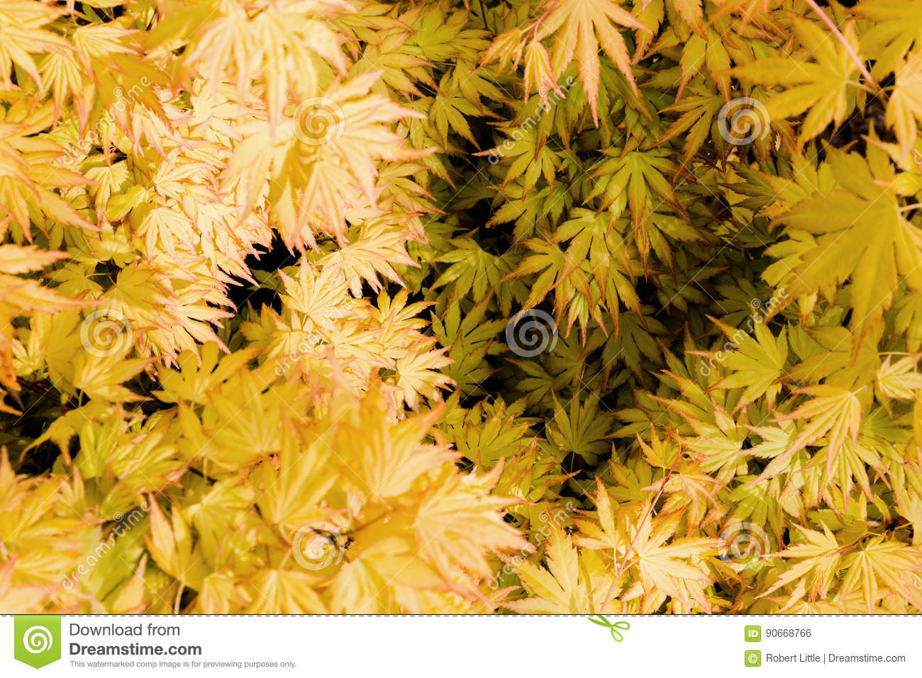 Japanese Acerpalmatum Shin Deshojo Stock Photo Image Of Golden