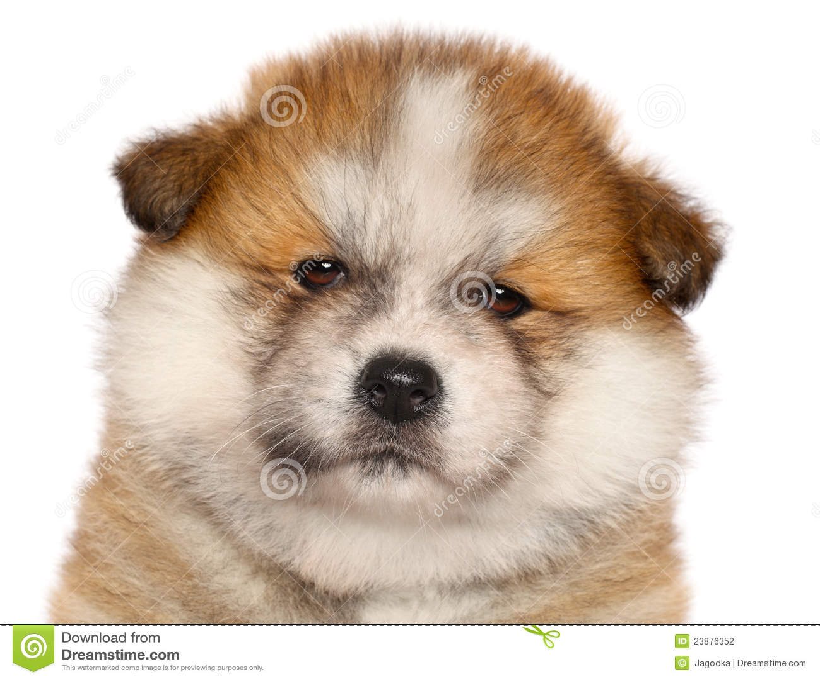 Japanese Akita-inu puppy