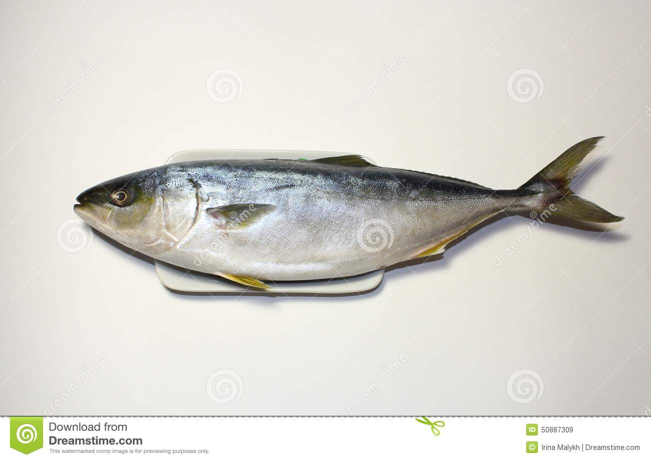 Japanese amberjack into butter fish bait ball stock for Yellow tail fish