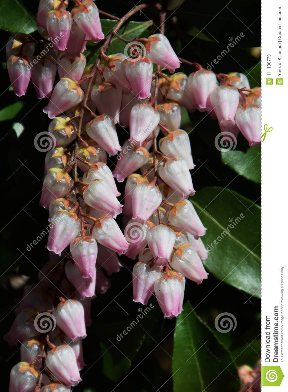 Japanese Andromeda Stock Image Image Of Tree Plant 111100779