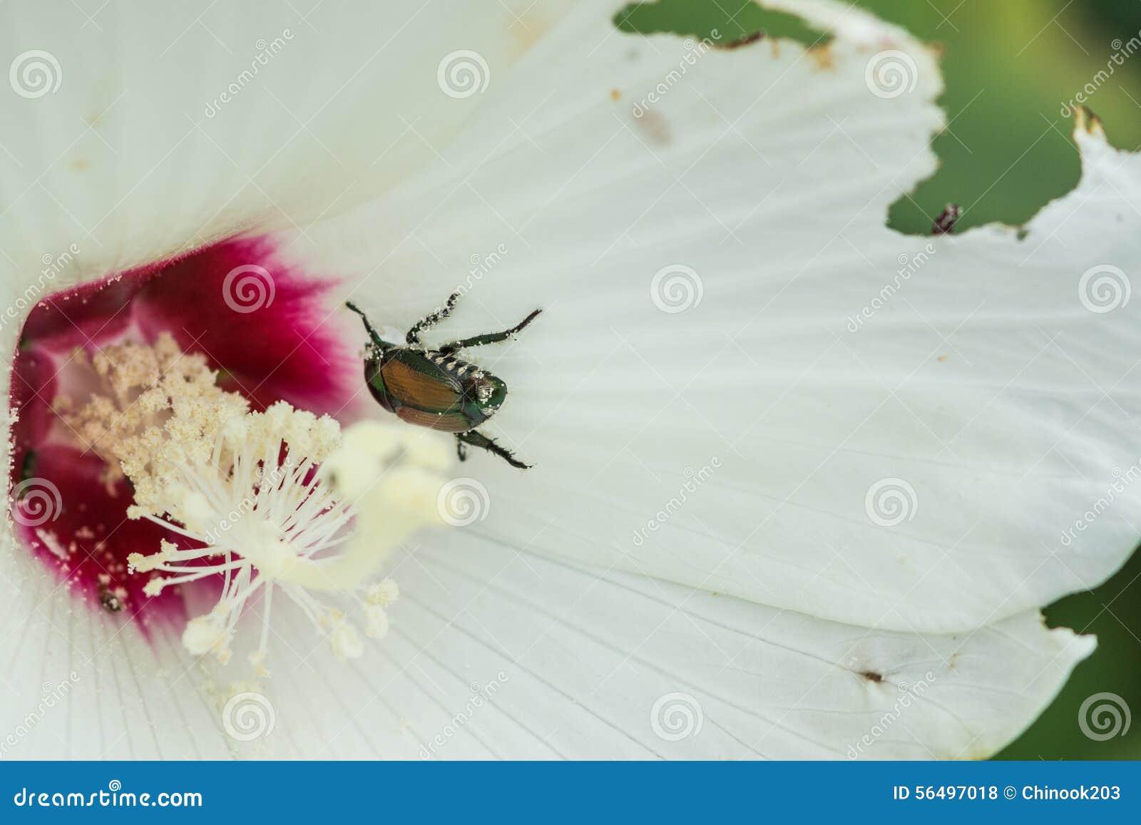 Japanese Beetle On A Hibiscus Flower Stock Photo Image Of Popillia