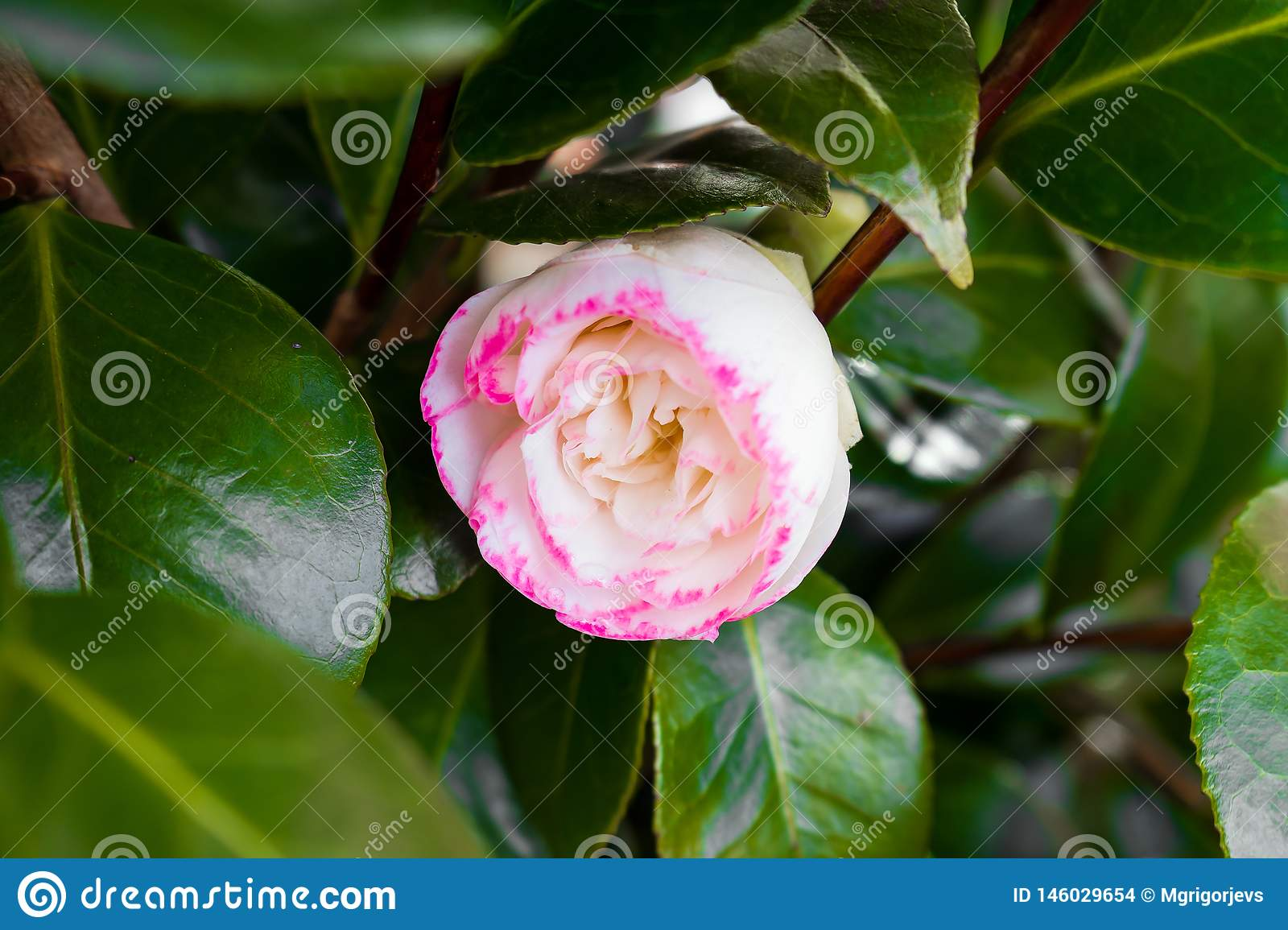 Japanese Camellia, Camellia japonica white and pink flower