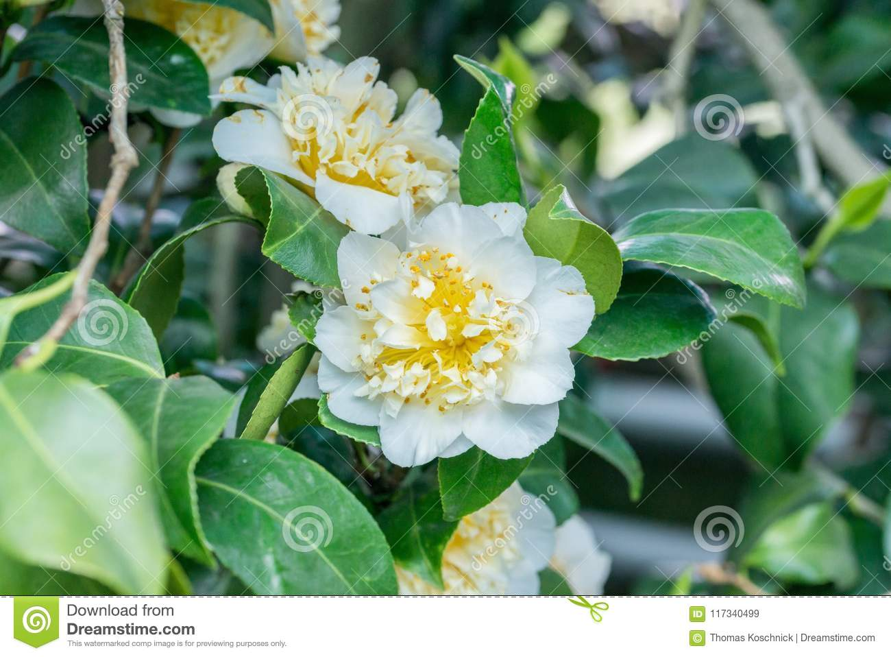 Japanese Camellia With White Flower Stock Image Image Of Camellias