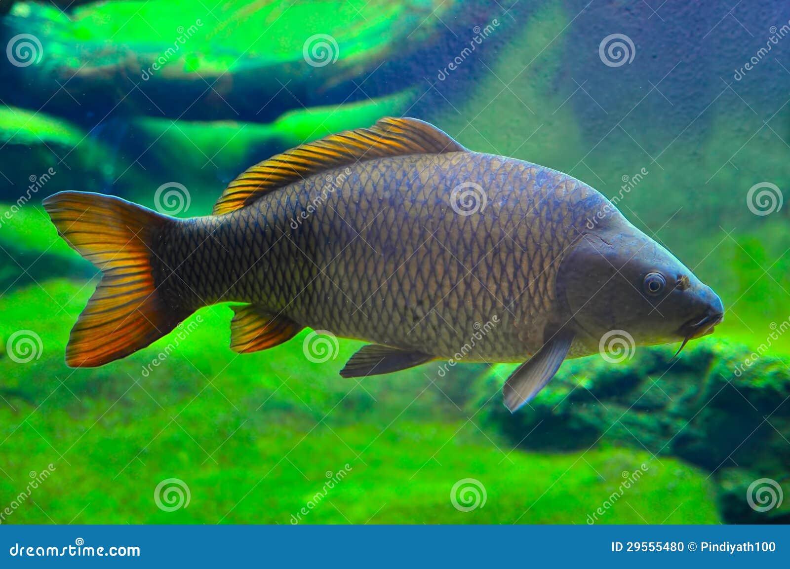 Japanese carp fish stock photo image 29555480 for Japanese carp fish