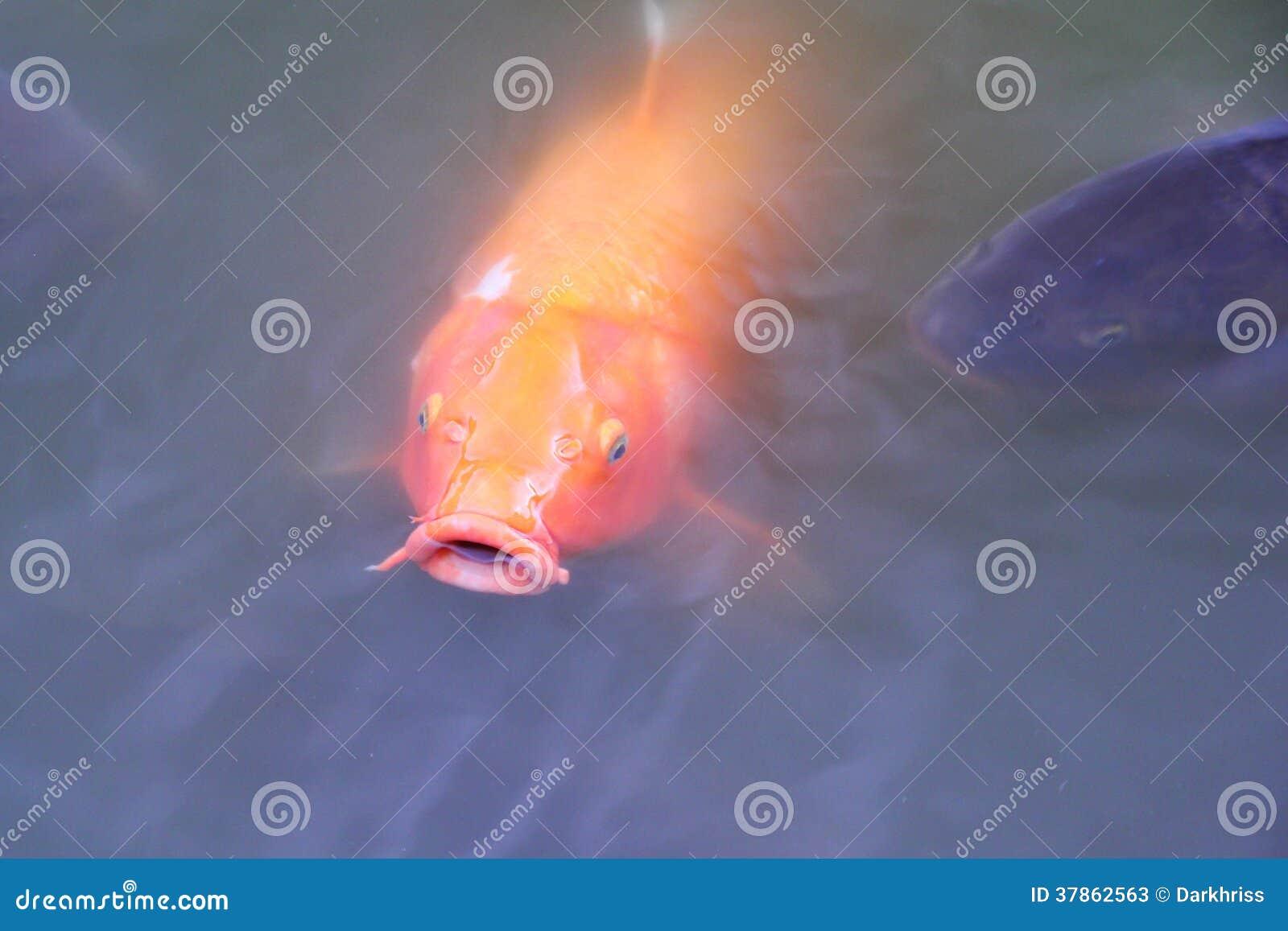 Japanese carp fish stock photos image 37862563 for Japanese carp fish