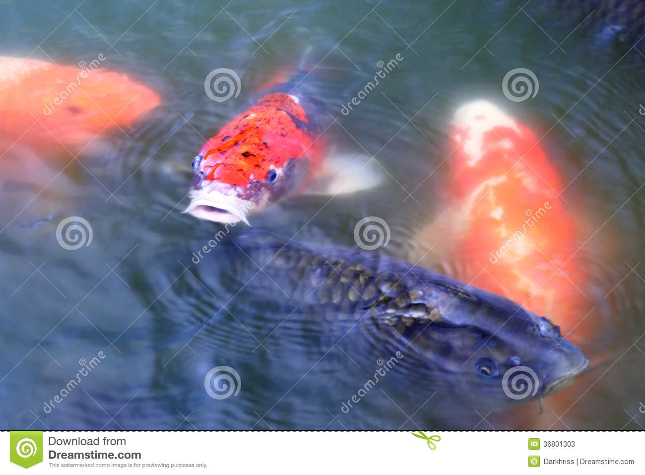 Japanese carp koi fish stock image image of summer for Koi carp fish pond
