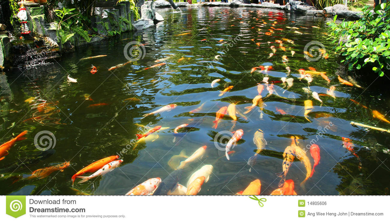 Japanese carp koi in pond royalty free stock image image for Japan koi pool