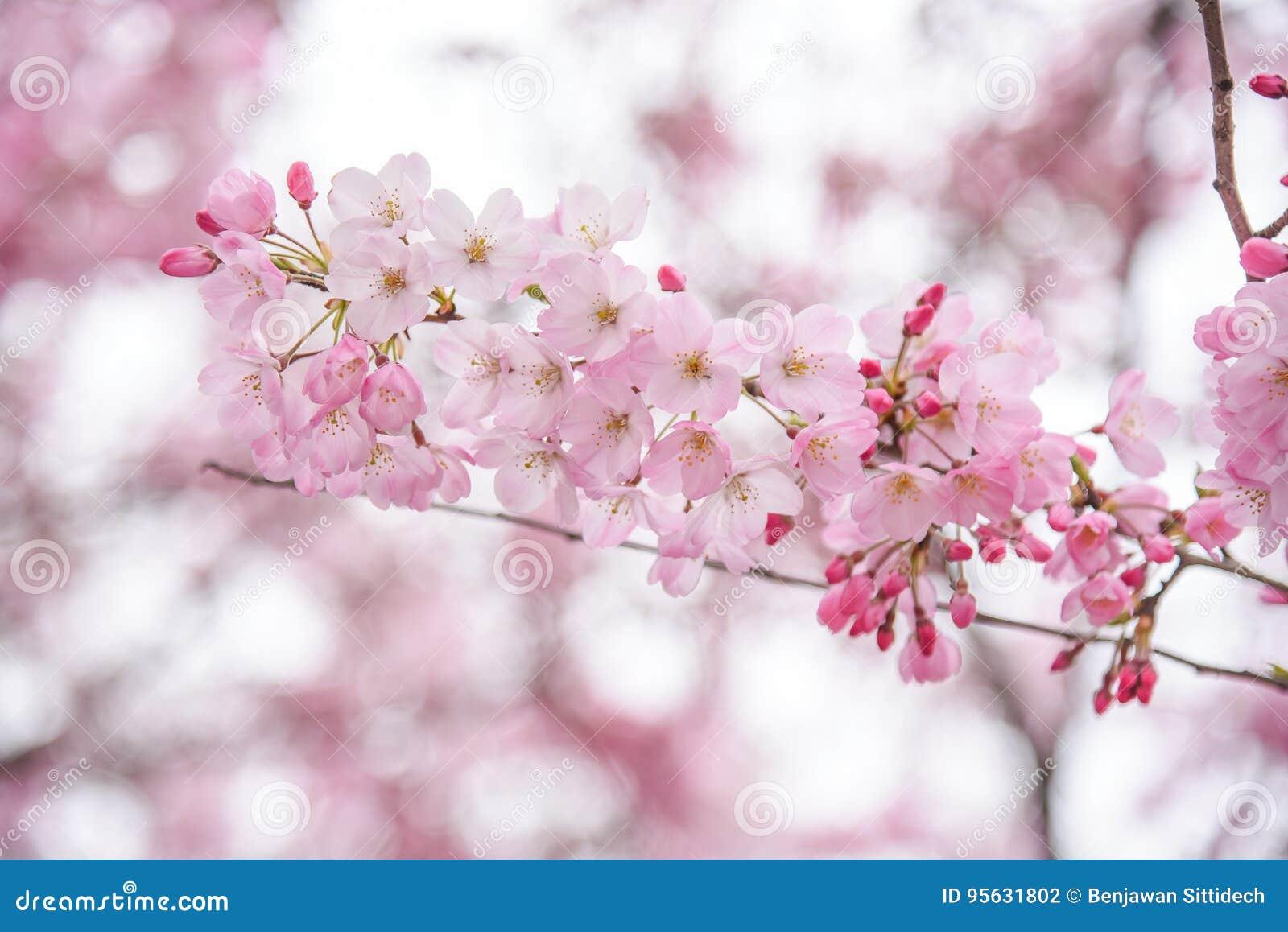 Japanese cherry blossom or pink sakura flower stock photo image of download japanese cherry blossom or pink sakura flower stock photo image of abstract bloom mightylinksfo