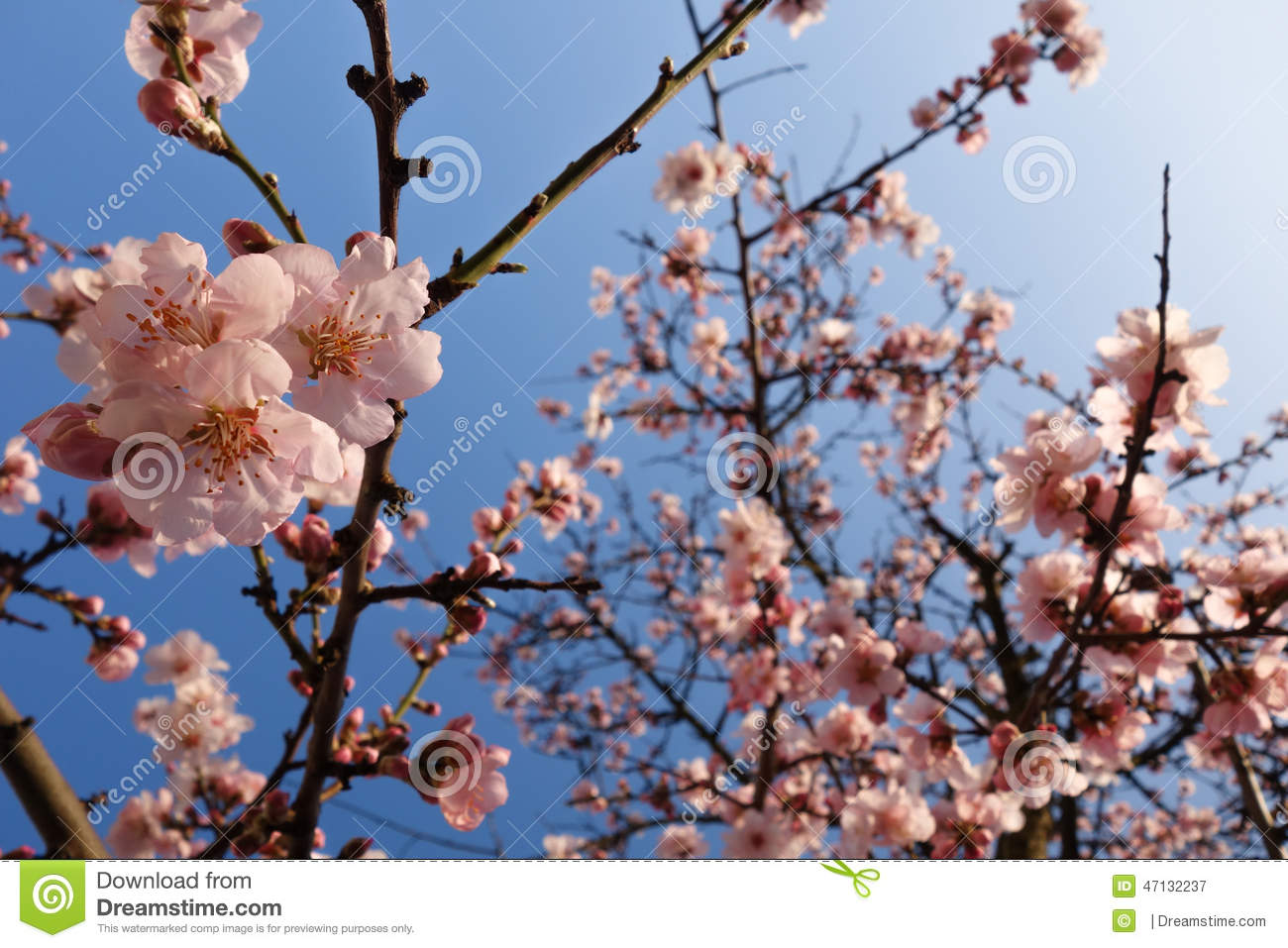 Japanese Cherry Blossom During Springtime
